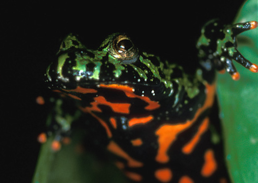 Photo of a fire-bellied toad, Bombina orientalis